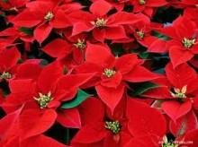 Consigli per la cura della stella di Natale Consigli per la cura della stella di Natale 220x164 - Consigli per la cura della stella di Natale