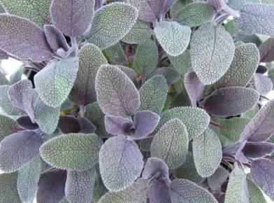 Salvia proprieta Salvia proprieta - La Salvia: Proprietà