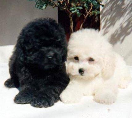 Barboncini nani cani di piccola taglia the house of blog for Cani da tenere in casa
