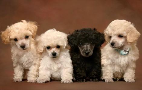 Barboncini piccoli medi Barboncini piccoli medi 470x300 - Il Barbone e il Barboncino nano cani di piccola taglia da tenere in casa