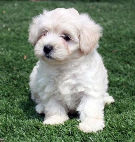 Il barbone e il barboncino nano cani di piccola taglia da for Casa progetta il trotto del cane