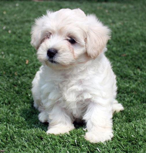 Barboncino Nano cani di piccola taglia da tenere in casa