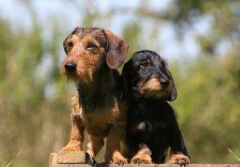 Cani di piccola taglia da appartamento Il Bassotto Tedesco ...