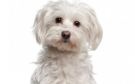 Cani di piccola taglia da appartamento Il Maltese Cani di piccola taglia da appartamento Il Maltese 470x293 - Il Maltese cane di piccola taglia da appartamento e da compagnia