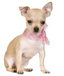 Cani di piccola taglia da appartamento il Chihuahua Cani di piccola taglia da appartamento il Chihuahua 220x260 - Cani di piccola taglia da appartamento: il Chihuahua