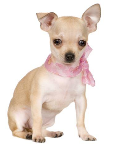 Cani di piccola taglia da appartamento il Chihuahua