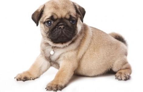 Cani di piccola taglia da compagnia e appartamento: il carlino the