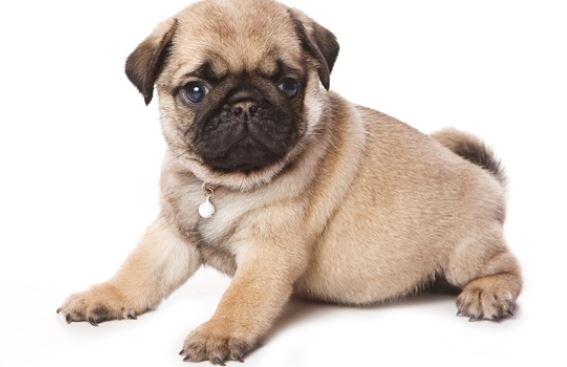 Cani di piccola taglia da compagnia e appartamento il for Nomi per cagnolini di piccola taglia