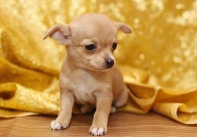 Cani di piccola taglia da compagnia il Chihuahua Toy