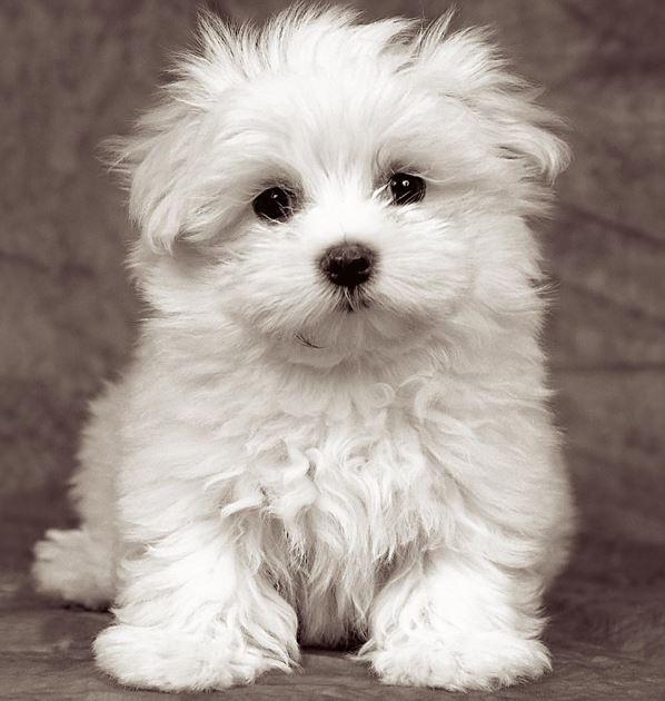 Il Maltese cane di piccola taglia da appartamento e da ...
