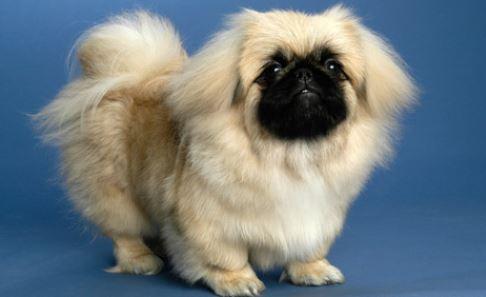Il Pechinese: cane di piccola taglia da appartamento - The ...