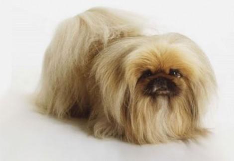 Il Pechinese cane di piccola taglia da tenere in casa Il Pechinese cane di piccola taglia da tenere in casa 470x324 - Il Pechinese: cane di piccola taglia da appartamento