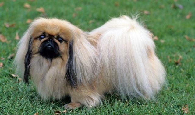 Il pechinese cani di piccola taglia da tenere in casa for Cani da tenere in casa