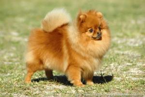 Il Volpino di Pomerania: cane di piccola taglia da tenere ...