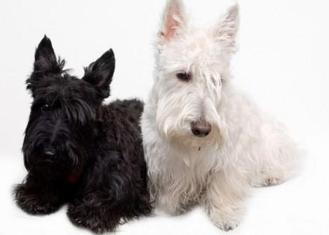 Scottish Terrier cane di piccola razza da tenere in casa Scottish Terrier cane di piccola razza da tenere in casa 470x336 - Scottish Terrier: cane di piccola taglia da tenere in casa