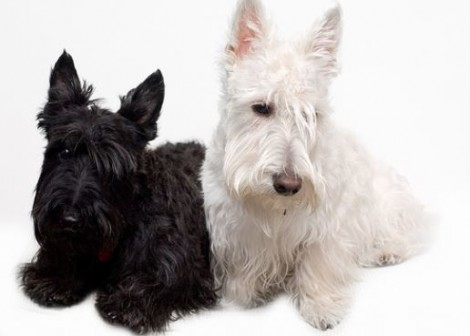 Scottish terrier cane di piccola taglia da tenere in casa for Cani da tenere in casa