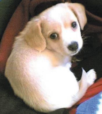 Meticcio o bastardino cane di piccola taglia da for Cani da tenere in casa
